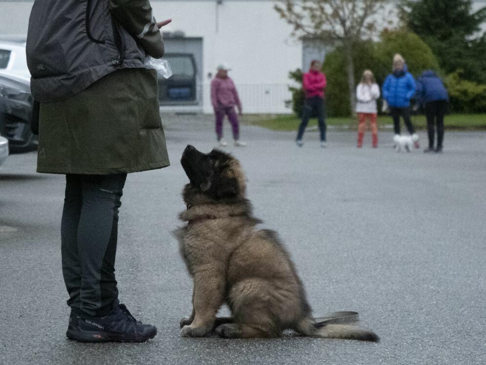 Leonberger valpen Dog-Otto og eier Ida Ose i full konsentrasjon. Foto: Tina Støkker