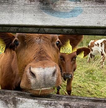 De eneste Bård møter på veien, er kyr. De ville gjerne hilse på den forbipassende.