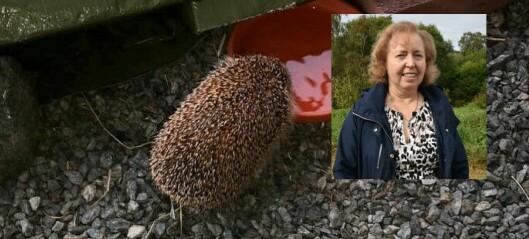 "Judith har viet livet sitt til pinnsvin: – Verandaen min er pinnsvinets ""paradise"""