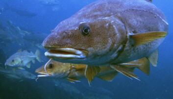 TORSK: Gadus Group kan ikke garantere at torsken ikke rømmer fra anleggene deres.