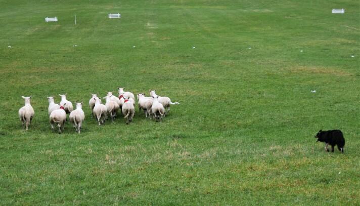 GJETERHUND: En av konkurransens gjeterhunder i aksjon.