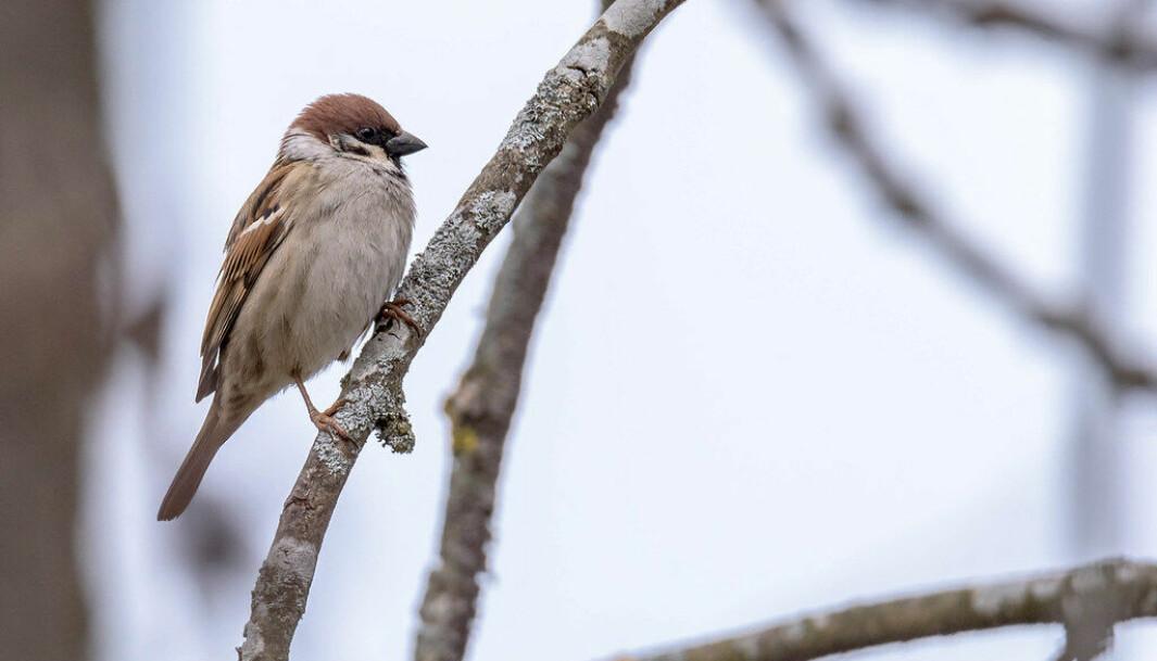 FRØSPISER: Pilfinken er en av mange fuglearter som er spesielt glad solsikkefrø.